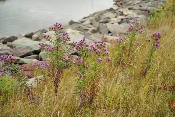 New England aster at Open Hearth Park in Sydney, Nova Scotia