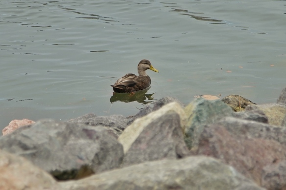 Black Duck, Open Hearth Park, Sydney, Nova Scotia