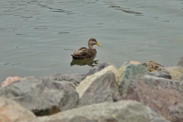 Black Duck, Open Hearth Park, Sydney, Nova Scotia