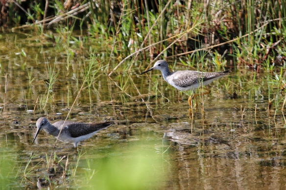 Greater Yellowlegs, Blackpoint Drive wildlife refuge, Titusville FL