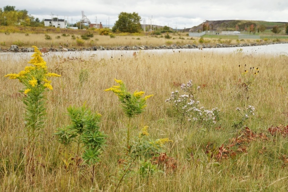 Prairie flowers at Open Hearth Park in Sydney, Nova Scotia