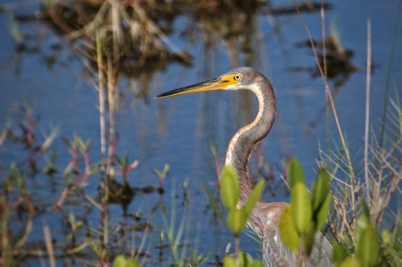Tri-colored Heron, Blackpoint Drive wildlife refuge, Titusville FL