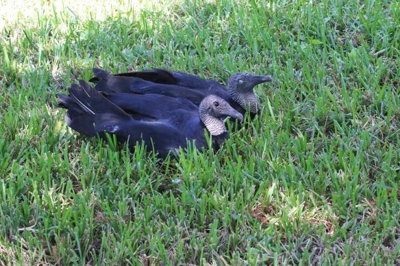 Black Vultures, Blackpoint Drive wildlife refuge visitor center