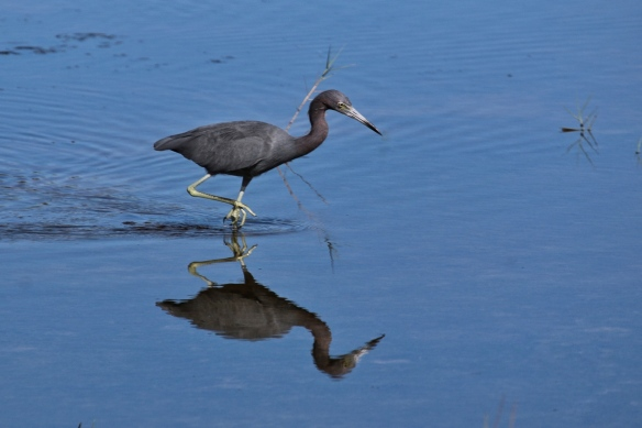 Little Blue Heron, Blackpoint Drive wildlife refuge, Titusville FL