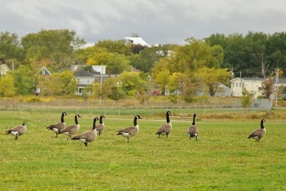 Canada Geese in Sydney, Nova Scotia