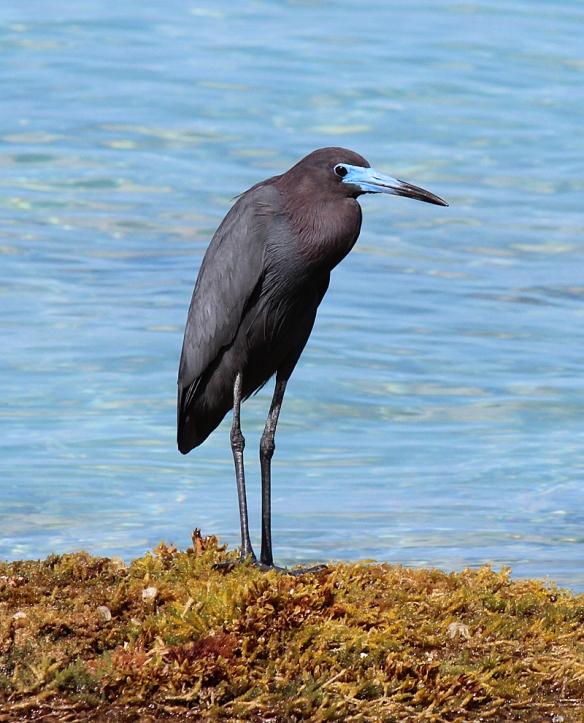 Adult Little Blue Heron, St. Croix Island