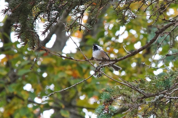 Black-capped Chickadee on Prince Edward Island are bigger than usual