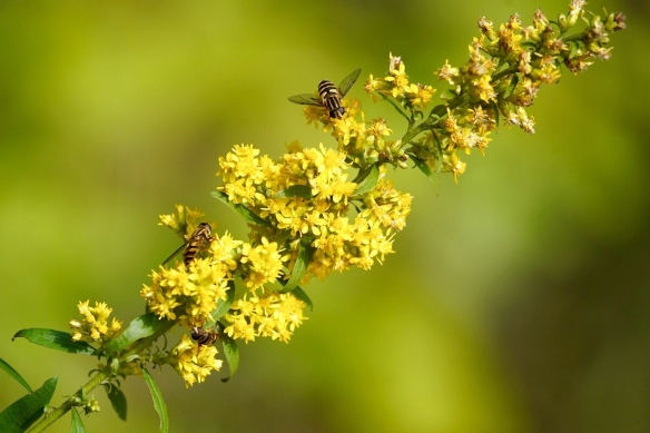 Hoverflies on goldenrod