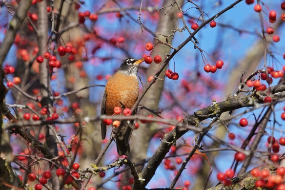 American Robin in a crabapple tree