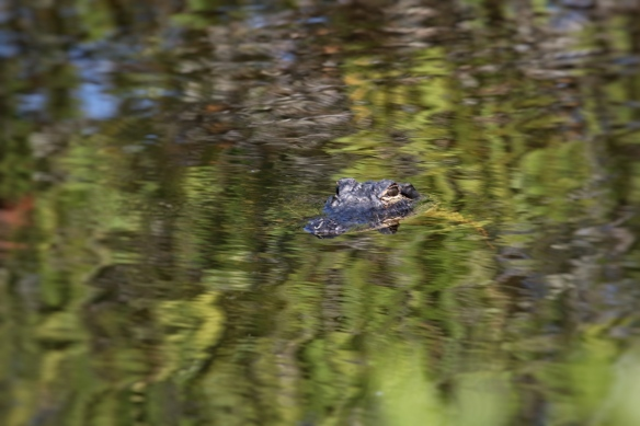 Alligator, Blackpoint Drive wildlife refuge, Titusville FL