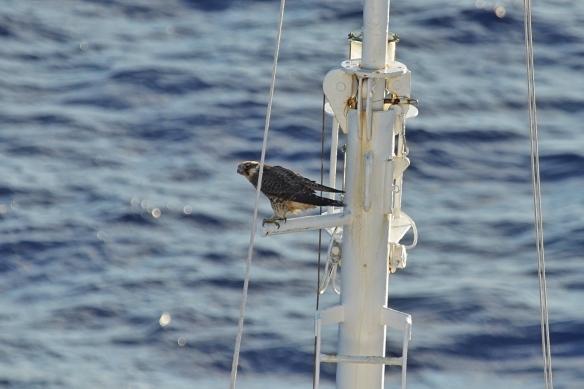 Juvenile Peregrine falcon on bowsprit of cruise ship