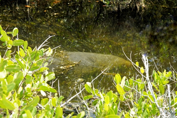 Manatee, Blackpoint Drive wildlife refuge, Titusville FL