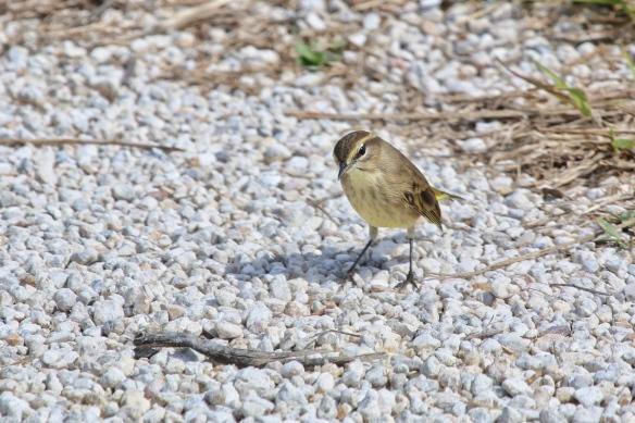 Yellow-dumped Warbler, Blackpoint Drive wildlife refuge, Titusville FL