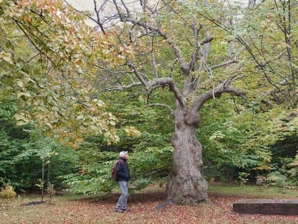Large basswood tree, Victoria Park, Charlottetown. P.E.I.
