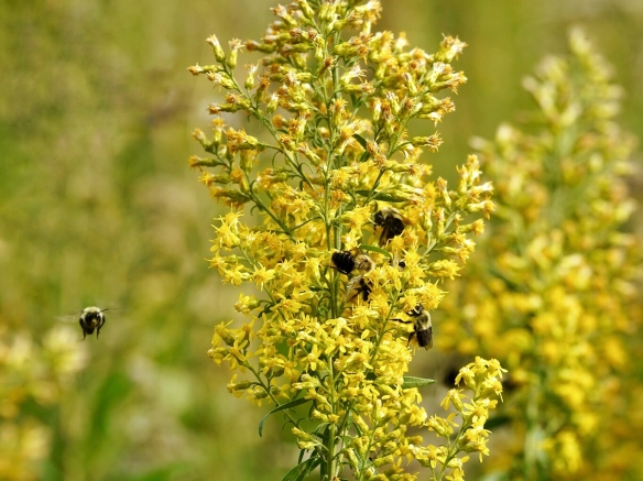 Bumble bees on showy goldenrod