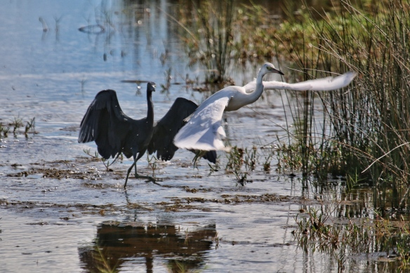Adult Little Blue Heron driving off a juvenile LBH