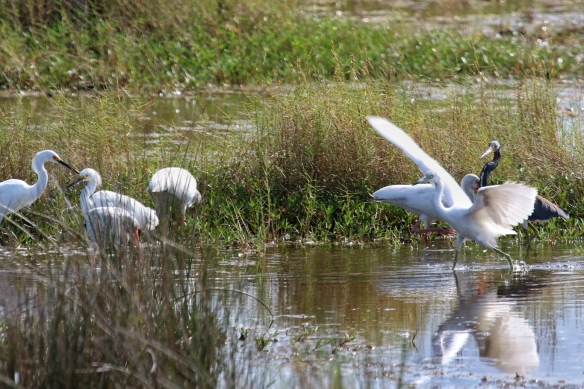 Little Blue Herons, Snowy Egrets, and White Ibis, Cape Canaveral, FL