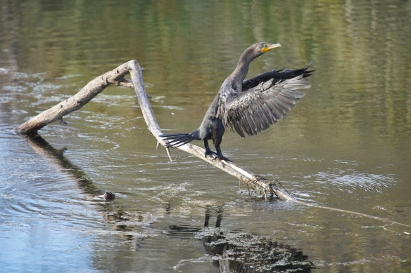 juvenile Double -crested Cormorant, Los Gatos creek park, San Jose, CA