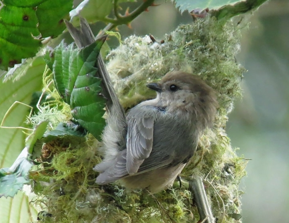 Bushtit nest, WA, photo by Mike Hamilton