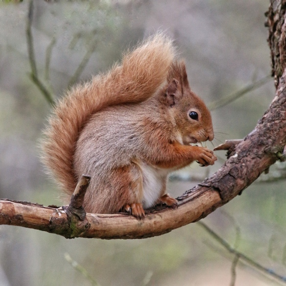 Red Squirrel, Rothiemurchus estate, Scotland, May 2018