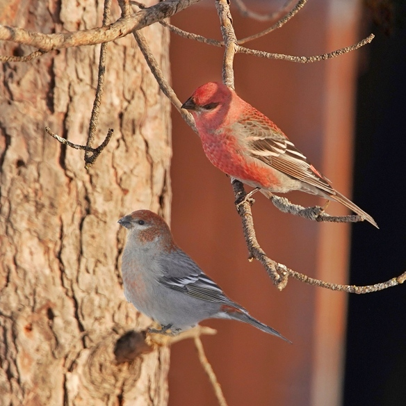 Male (top) and female Pine Grosbeak