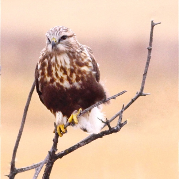 Rough-legged Hawk, Wikimedia Commons, photo by dfaulder