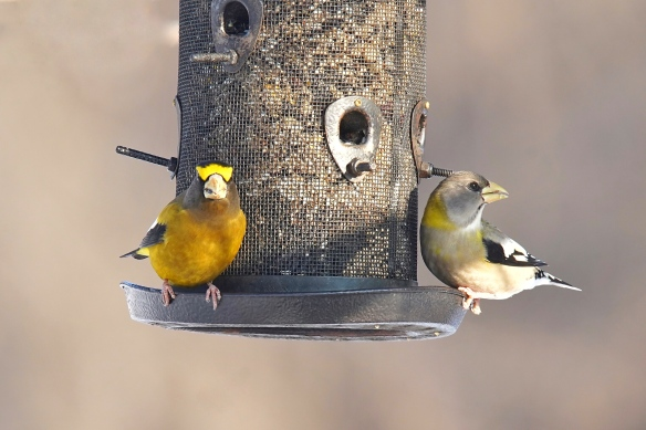 Male (left) and female Evening Grosbeak