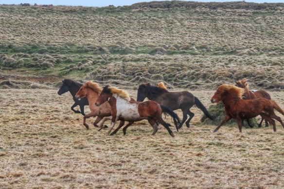 Icelandic ponies, Hella, Iceland