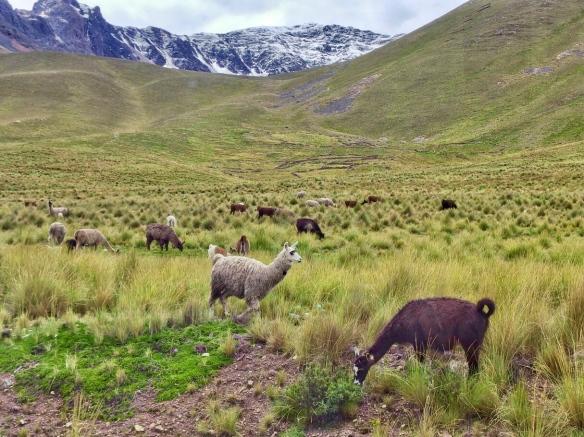 Alpaca in the Andean altiplano, Peru