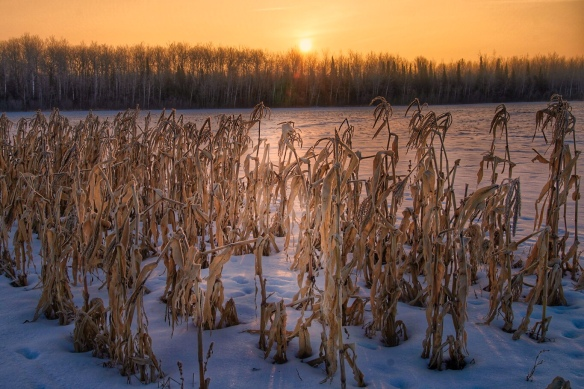 Cornfield at sunrise, sax-Zim bog, MN