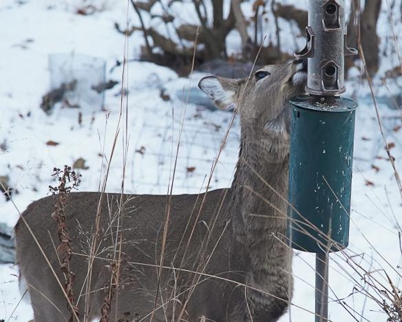 deer robbing bird feeder-