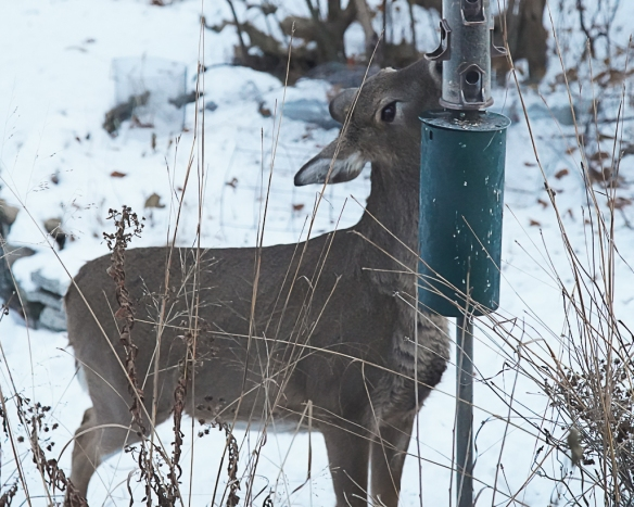 doe robbing bird feeder