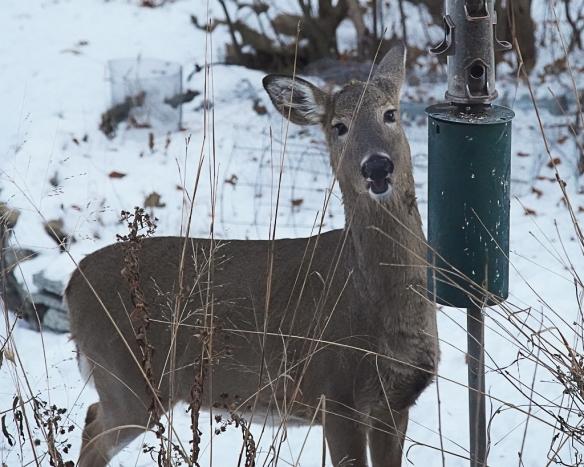 doe robbing bird feeder-