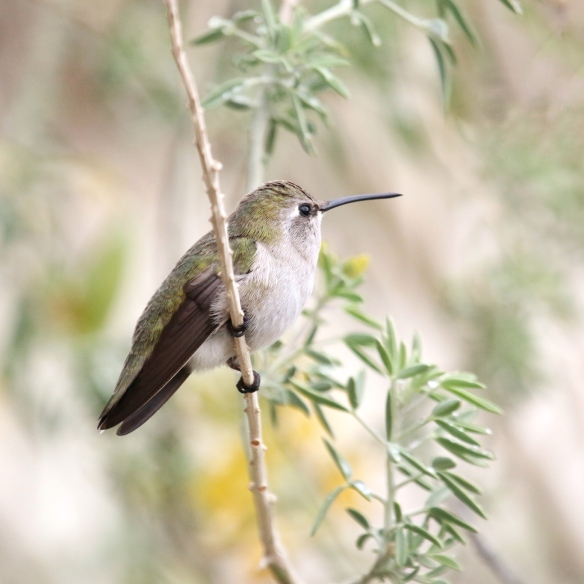 Female Costa's Hummingbird