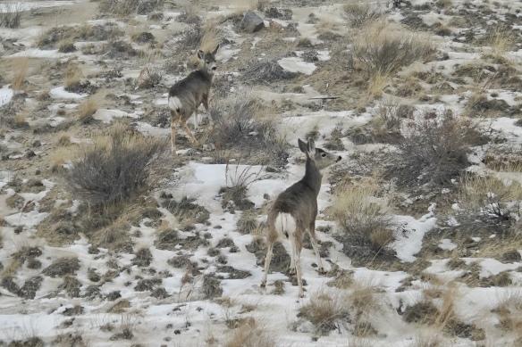 Mule deer, Sybille Canyon, Wheatland, WY