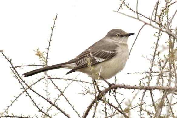 Mockingbird, Palm Desert, CA