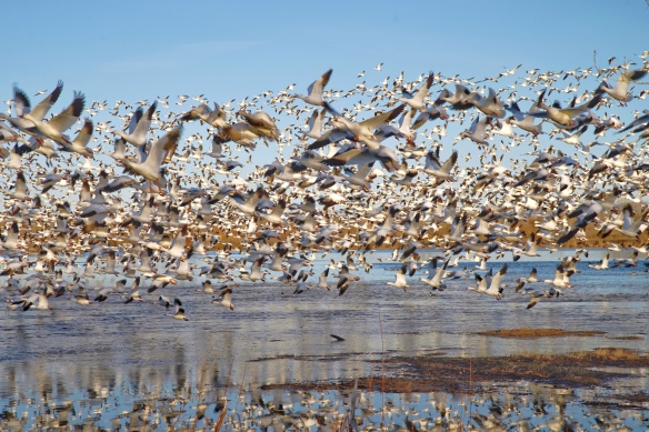Snow Geese, Bosque del Apache, NM