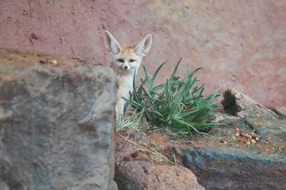 Fennec, Fox, Living Desert Zoo, Palm Desert, CA