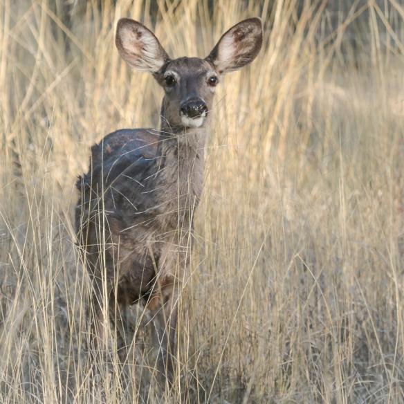 Mule deer, Living Desert Zoo, Palm Desert, CA