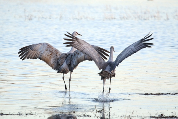 Sandhill Cranes, Bosque del Apache, NM