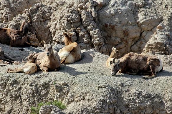 Bighorn Sheep, Living Desert Zoo, Palm Desert, CA