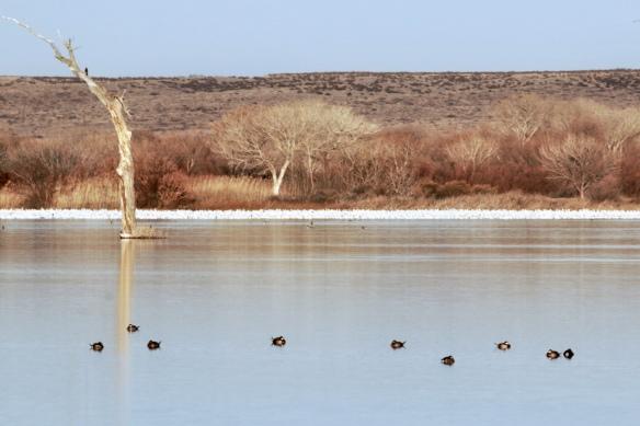 Snow Geese, Bosque del Apache, NM