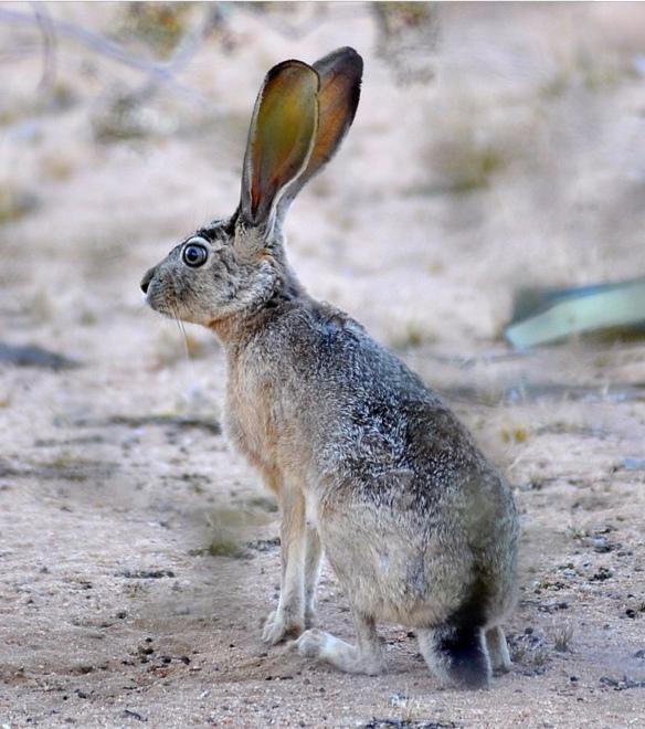 Jackrabbit, Living Desert Zoo, Palm Desert, CA