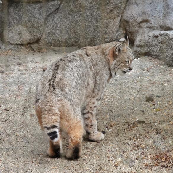 Bobcat, Living Desert Zoo, Palm Desert, CA