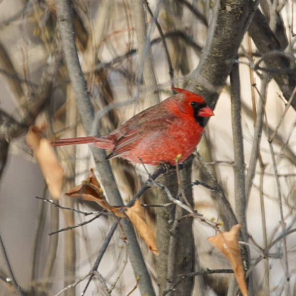 male northern cardinal-winter plumage