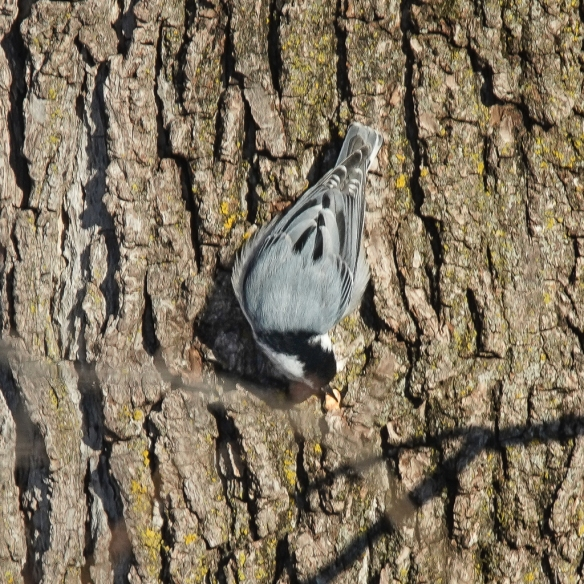 White-breasted Nuthatch stashing a peanut