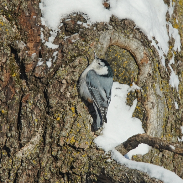 White-breasted Nuthatch basking on a cold morning