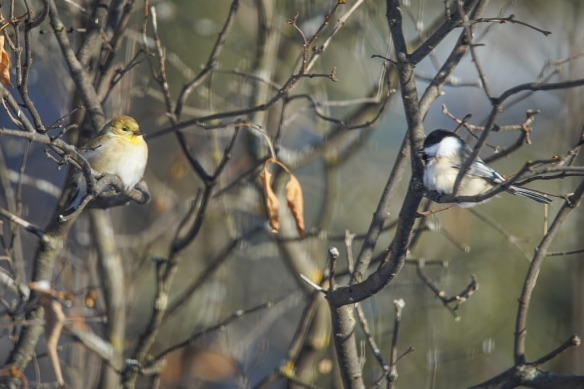American Goldfinch and Black-capped Chickadee