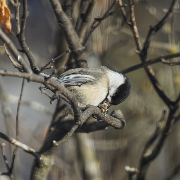 Black-capped Chickadee drilling a peanut