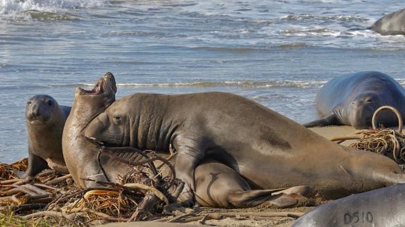 Elephant seals at Año Nuevo state park, CA